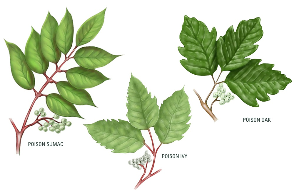 drawings of poison sumac, poison ivy, and poison oak